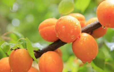 Abricot bio de Provence