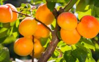 Abricot bio de Provence Les Paniers Davoine