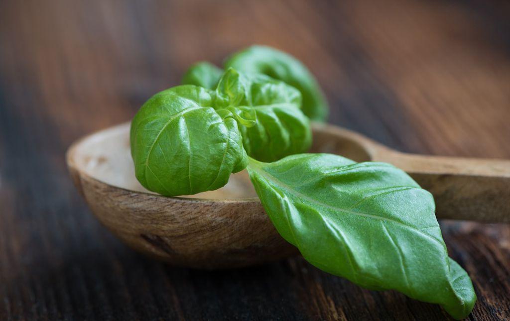 Basilic vert bio