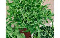 Salade Cerbiatta bio