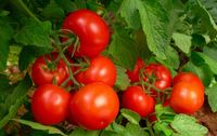 Tomate bio de Provence ronde les paniers davoine