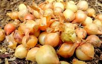 Oignons bio jaunes Provence Les Paniers Davoine