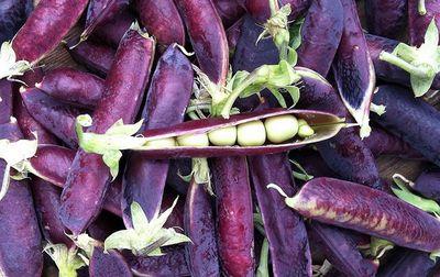 petit pois à cosse violette bio