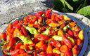 Piments oiseaux Antillais bio paniers davoine provence