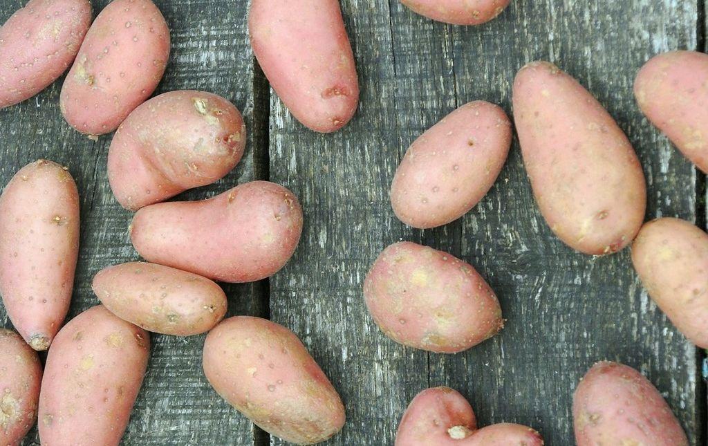 Pomme de terre Kuroda rouge bio