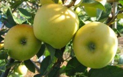 Pommes jaunes Opal bio