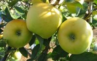 Pommes Golden Delicious bio Provence Les Paniers Davoine