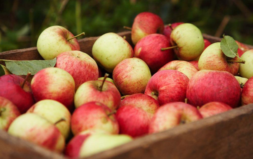 Pomme bio Reine des Reinettes