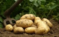 Pomme de terre primeur Bio Les Paniers Davoine