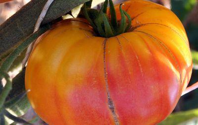 Tomate ancienne Ananas bio