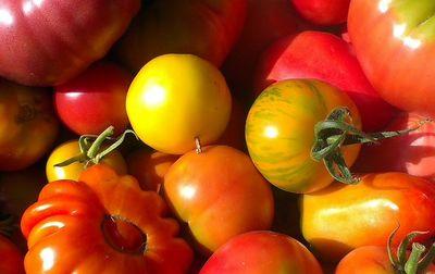 Tomate ancienne bio (variété selon récolte)