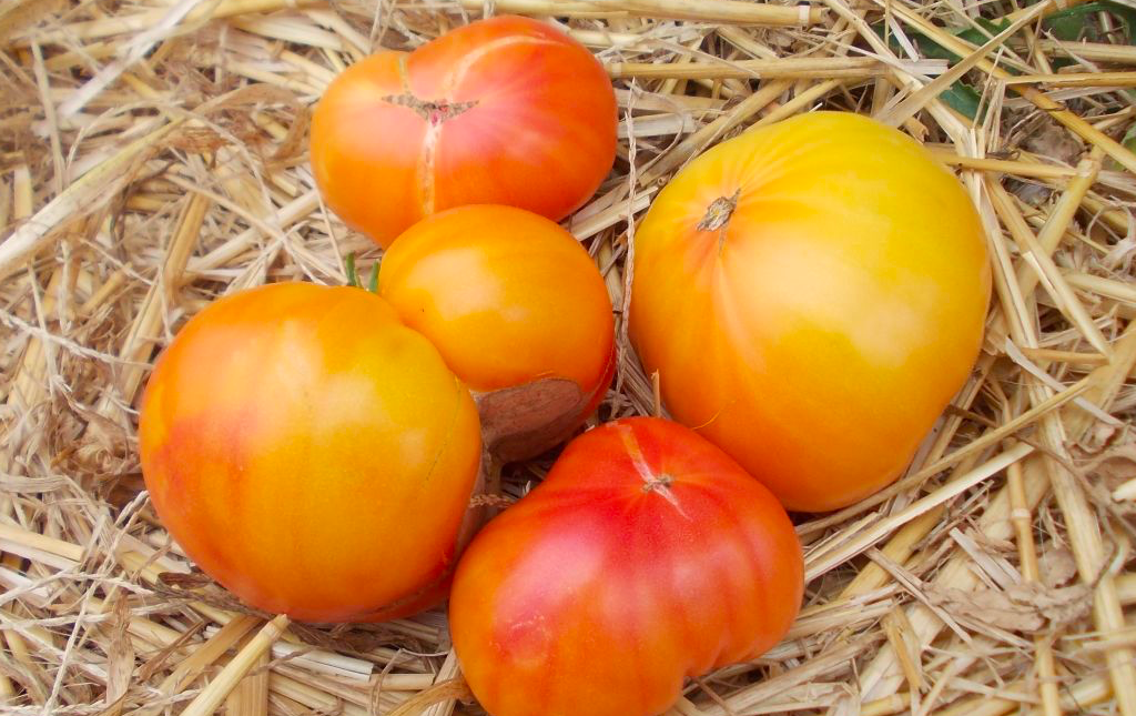 Tomate ancienne ananas bio Les Paniers Davoine